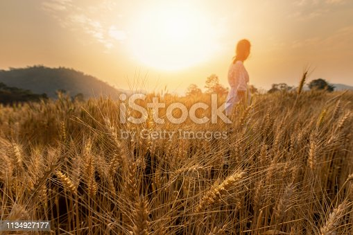 Barley Field in period harvest at sunset.