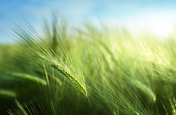 barley field in sunset time - barley stock pictures, royalty-free photos & images