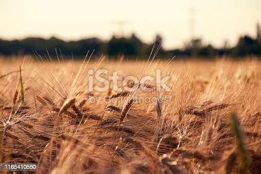 Cereal field with barley ears of wheat in the evening sun