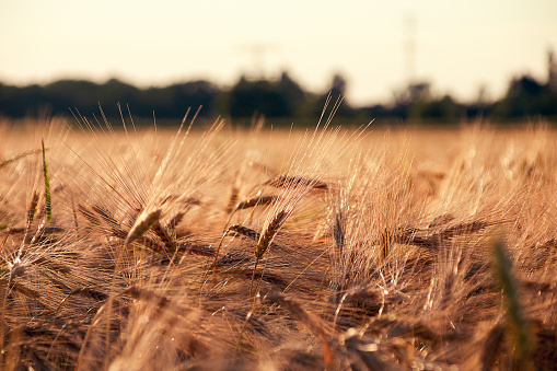 Barley field in the evening sun