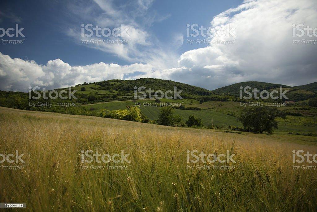 Barley field landscape royalty-free stock photo