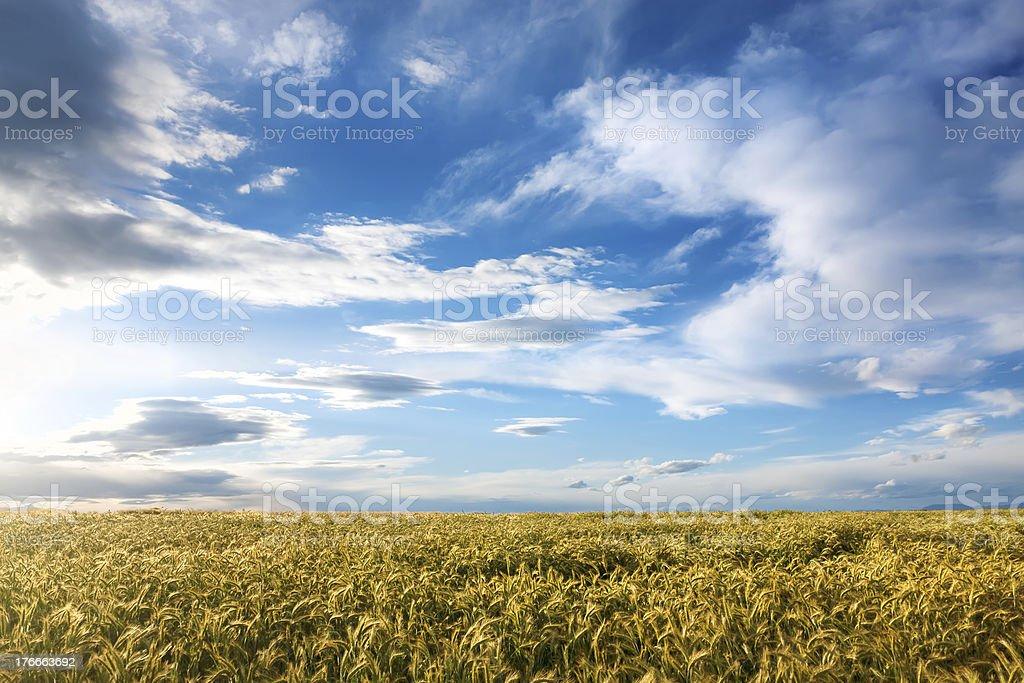 Barley field on a sunny day royalty-free stock photo
