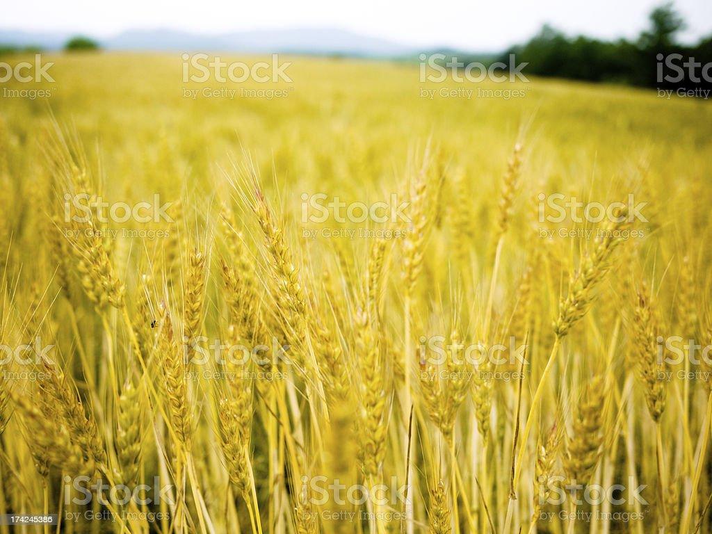 Barley field royalty-free stock photo