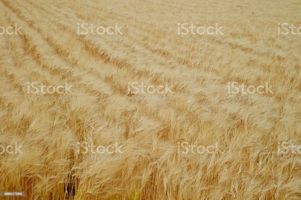 Barley field - Стоковые фото Выращиваемый роялти-фри