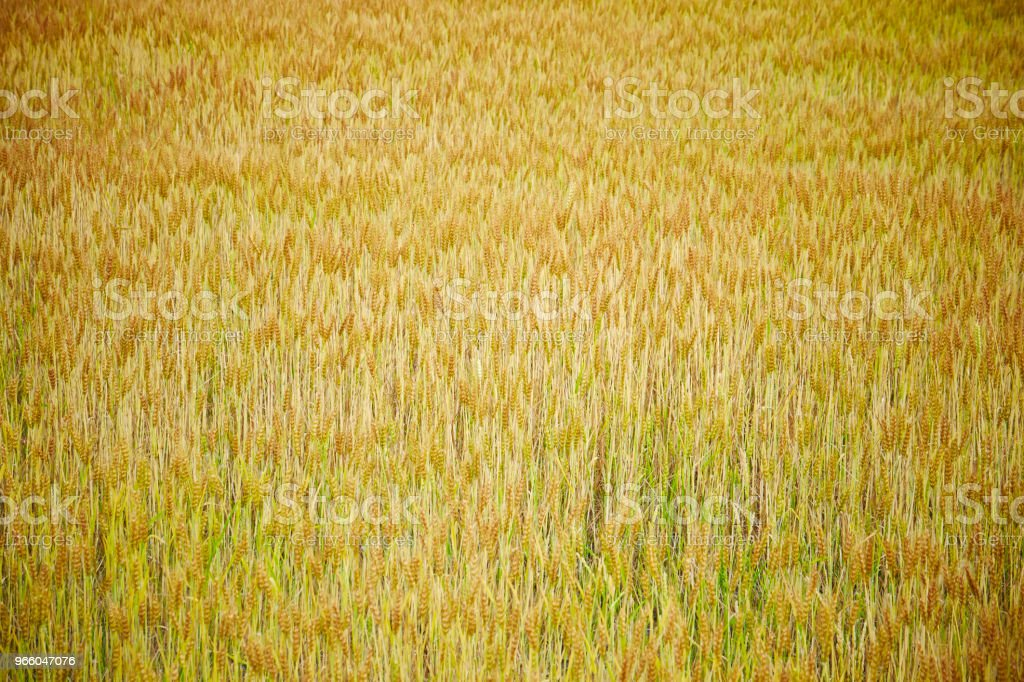 Barley field - Royalty-free Agricultural Field Stock Photo
