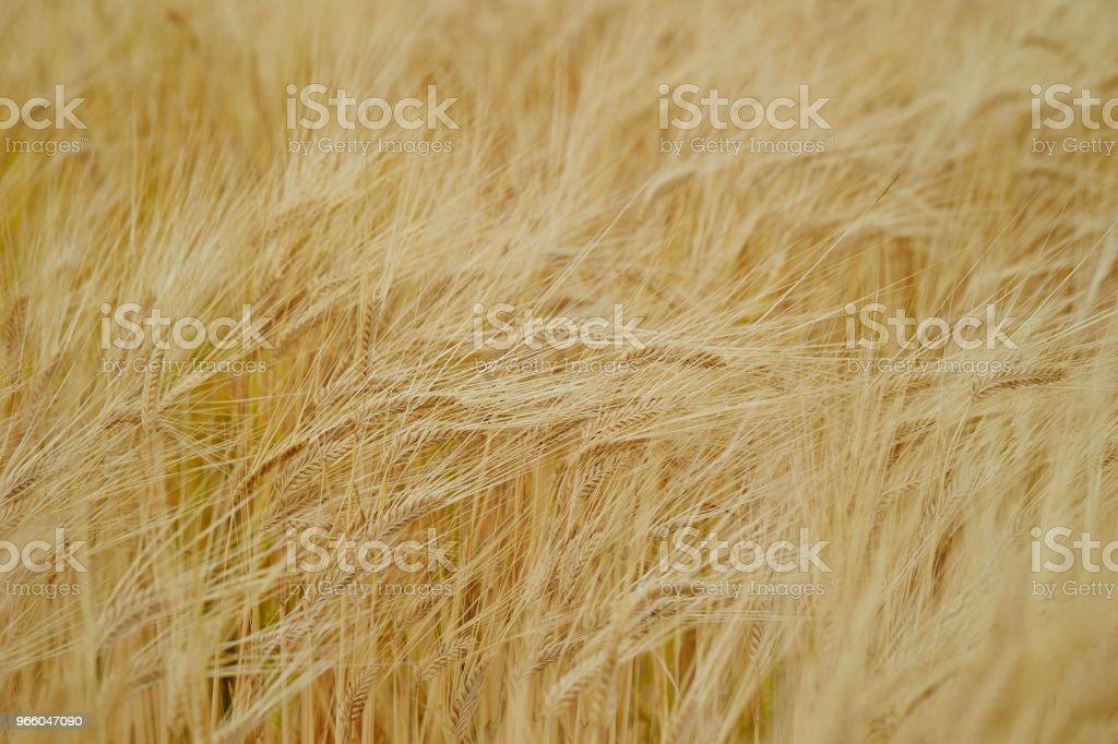 Gerst veld - Royalty-free Achtergrond - Thema Stockfoto
