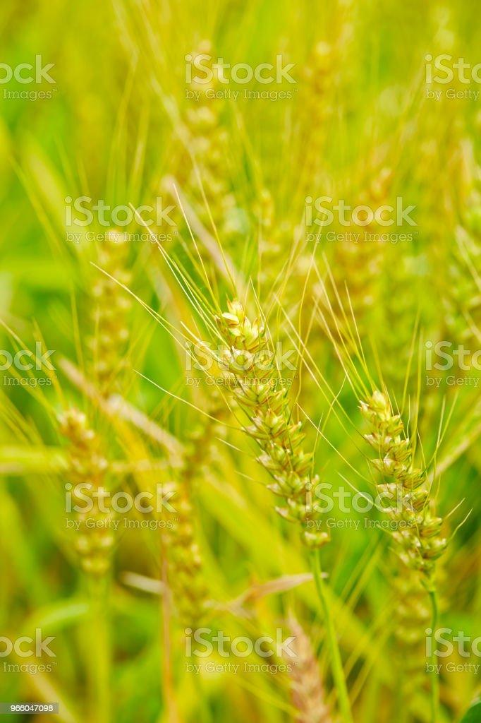 Korn fältet - Royaltyfri Ekologisk bondgård Bildbanksbilder
