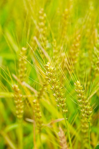 Korn Fältet-foton och fler bilder på Ekologisk bondgård
