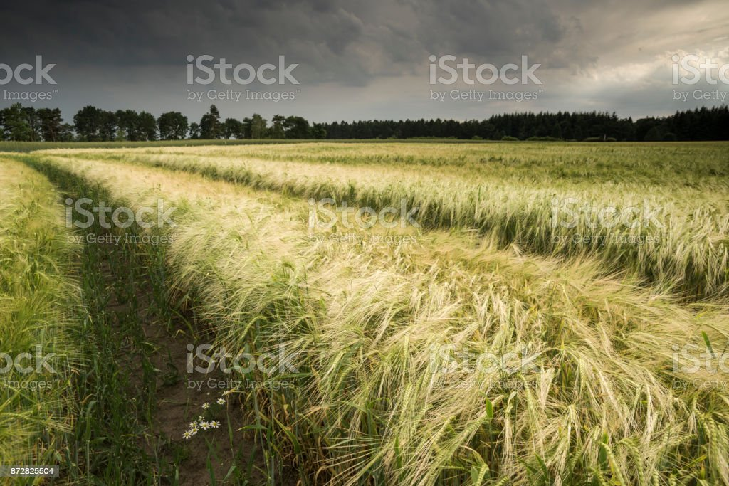 Barley field under storm clouds stock photo