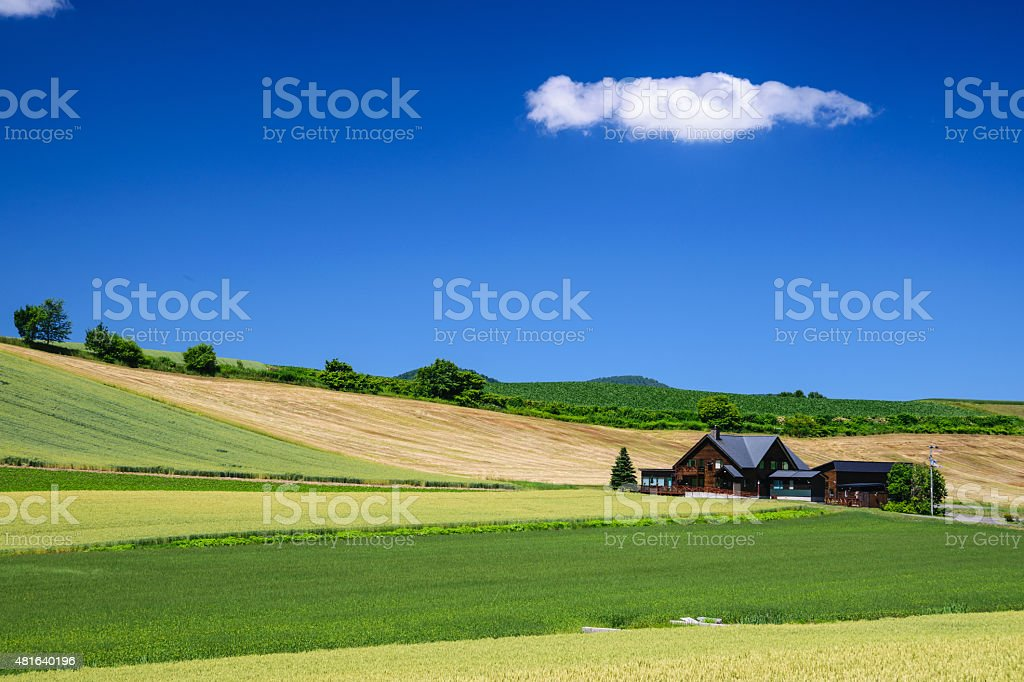 Barley Field with cottage in Biei province, Hokkaido, Japan stock photo