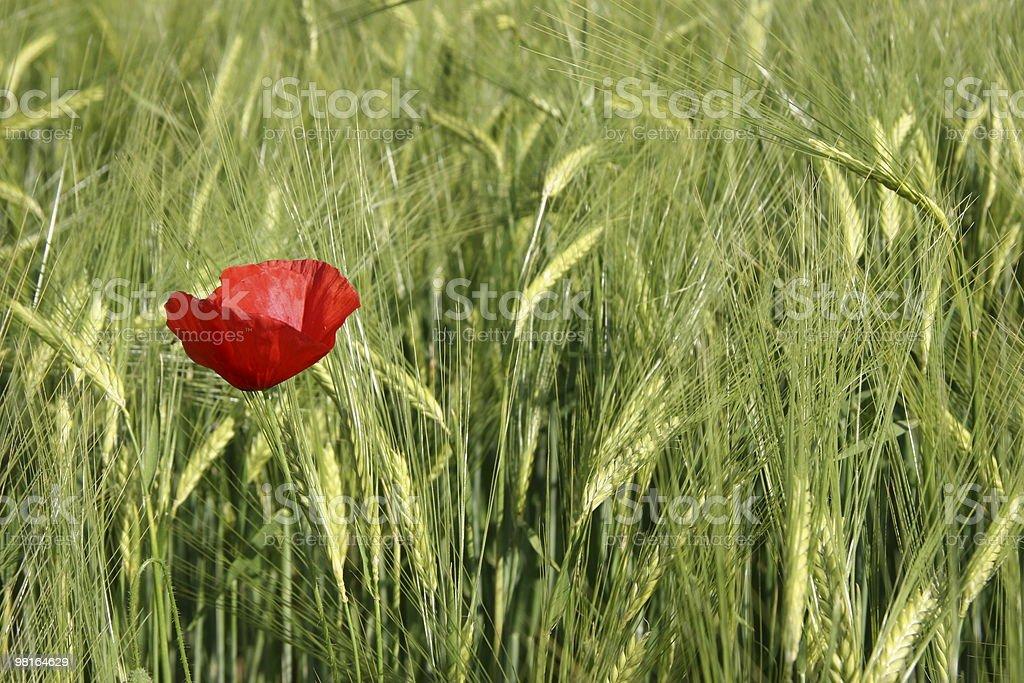 barley field with poppy royalty-free stock photo
