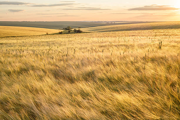 Barley fields Beautiful rural scene of barley fields on sunset steppe stock pictures, royalty-free photos & images