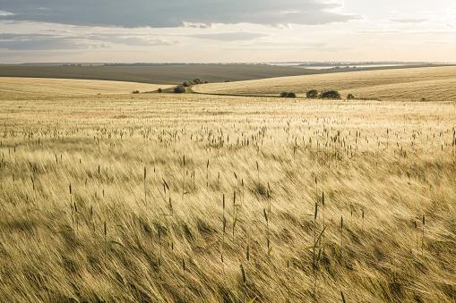 Beautiful rural scene of barley fields on sunset