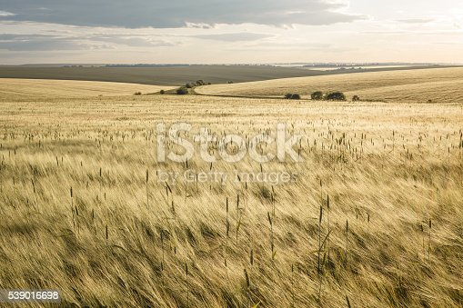 Beautiful rural scene of barley fields on sunset
