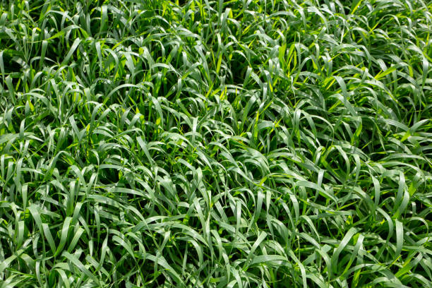 Barley forage pasture for stock feed Barley (Hordeum vulgare L.) is a major cereal crop primarily grown for its grain, but it also yields valuable forage that can be grazed, cut for hay or silage, or cut after grain harvest for straw foraging stock pictures, royalty-free photos & images