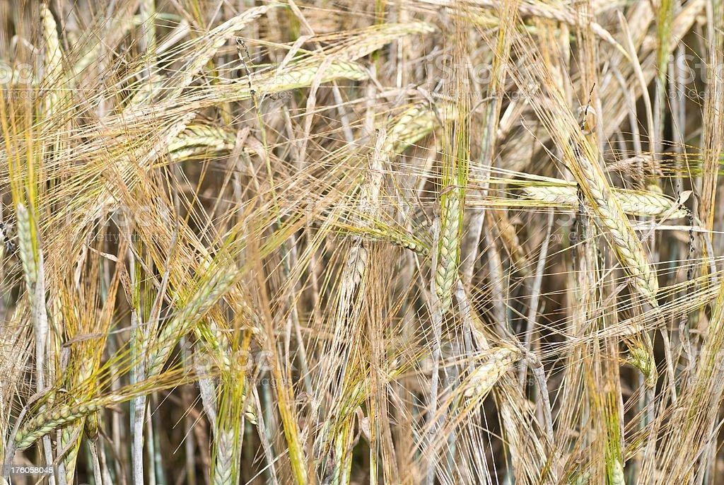 barley - full-frame cornfield royalty-free stock photo
