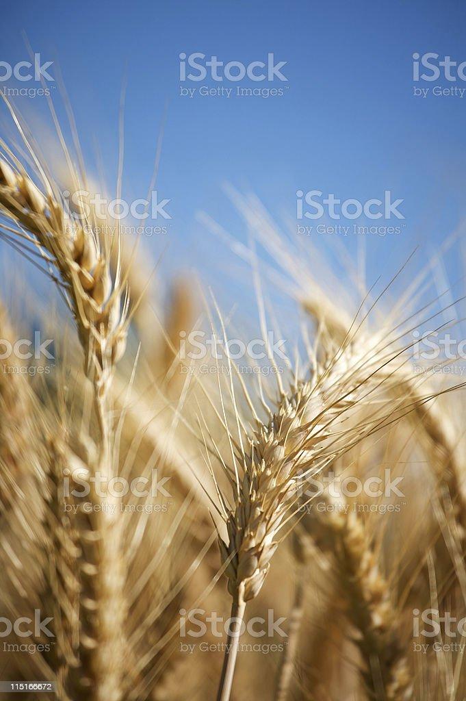 barley golden harvest field royalty-free stock photo