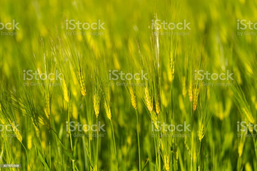 Barley grain is used for flour,bread,  beer, some whiskeys, some vodkas, and animal fodder stock photo
