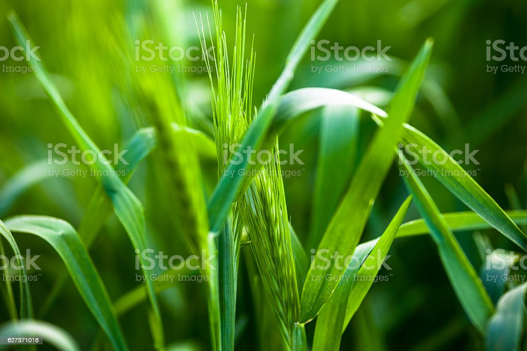 Barley grass or wall barley stock photo