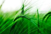 Barley grass closeup