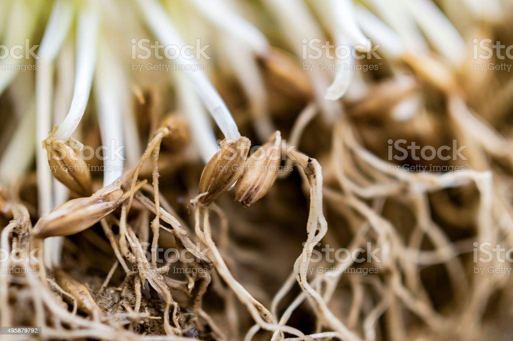 Barley grass roots stock photo