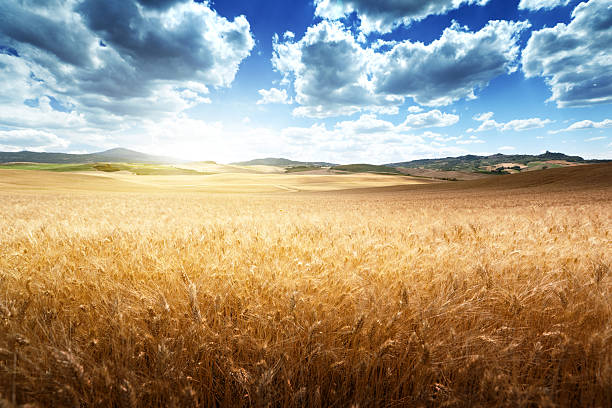 barley  hills tuscany, italy - barley stock pictures, royalty-free photos & images