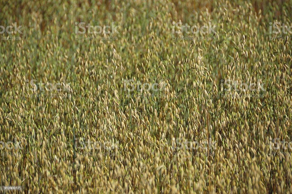 Barley in Ontario countryside stock photo