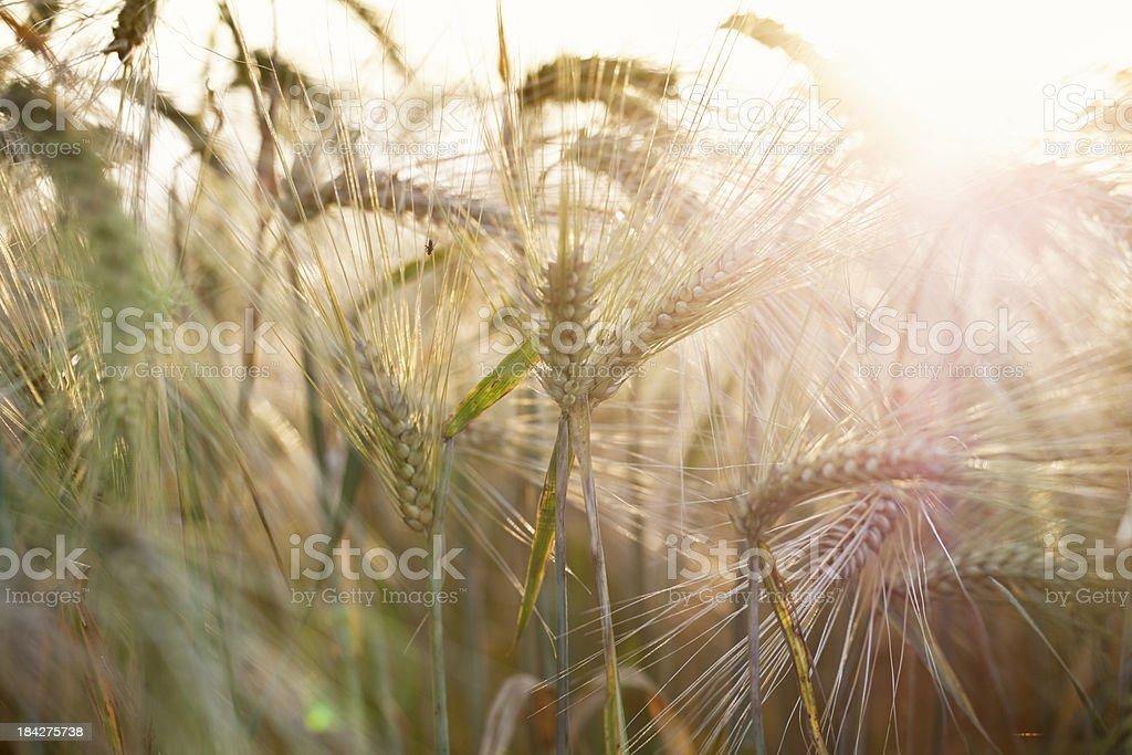barley in summer field royalty-free stock photo