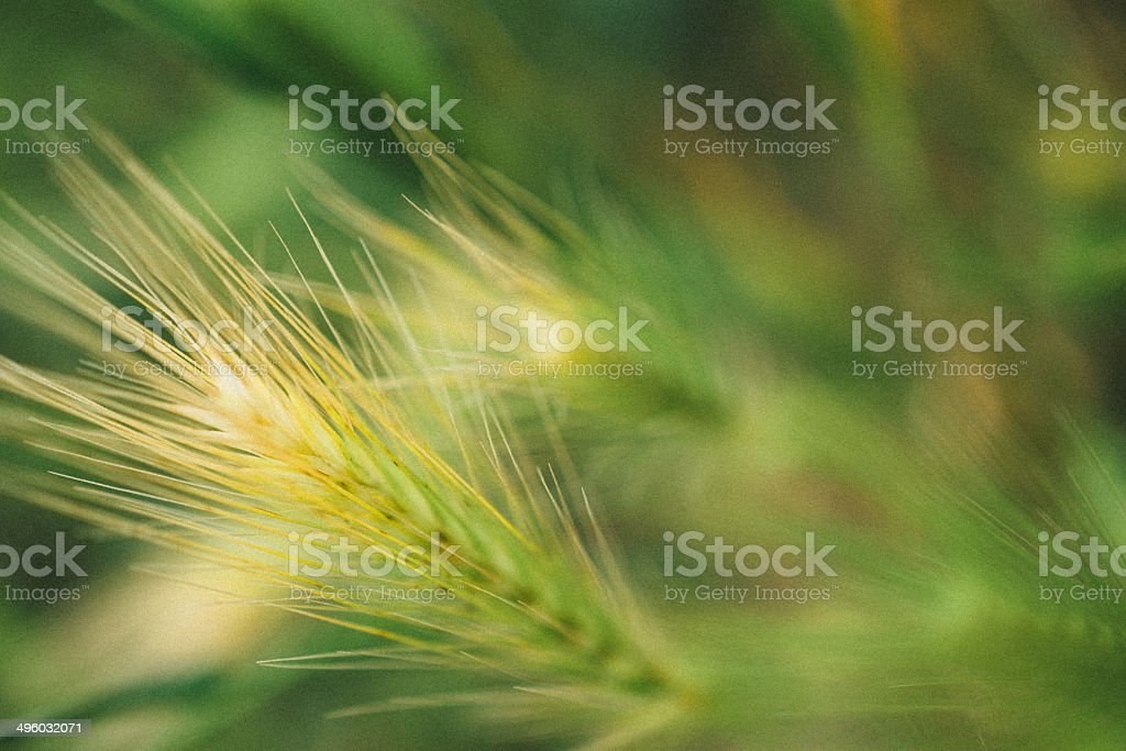 barley in the close up photo in nature stock photo
