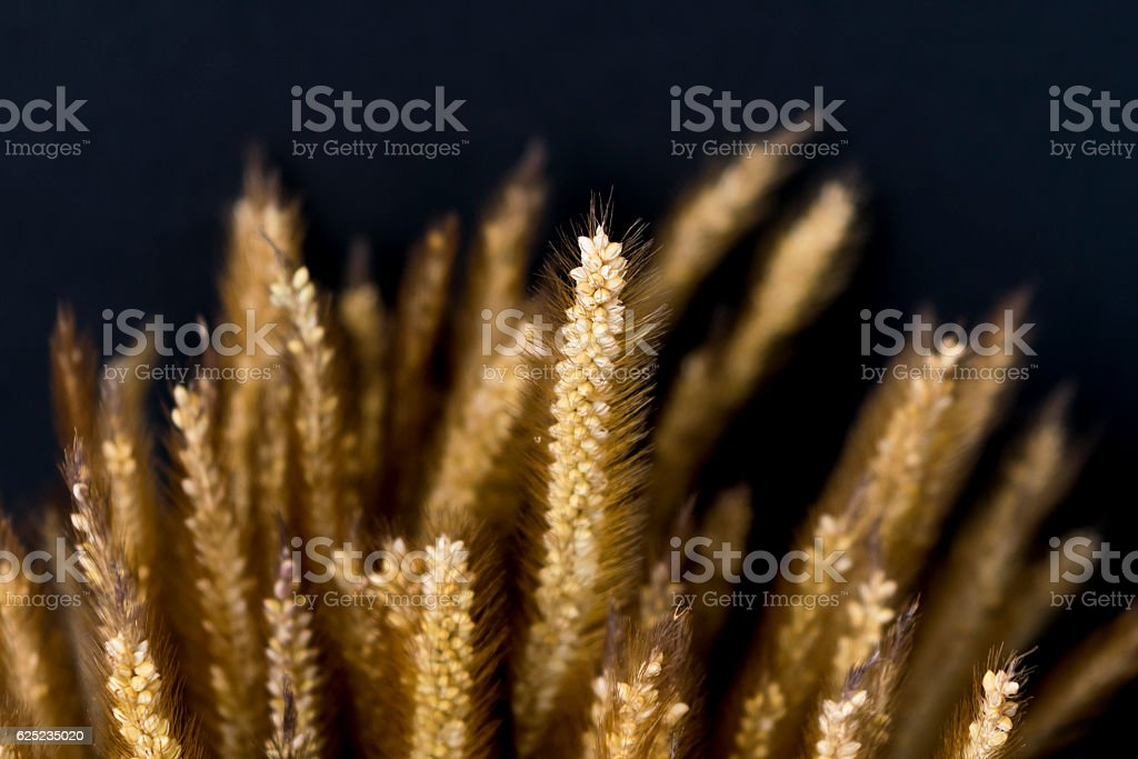 Barley low key and dark background stock photo
