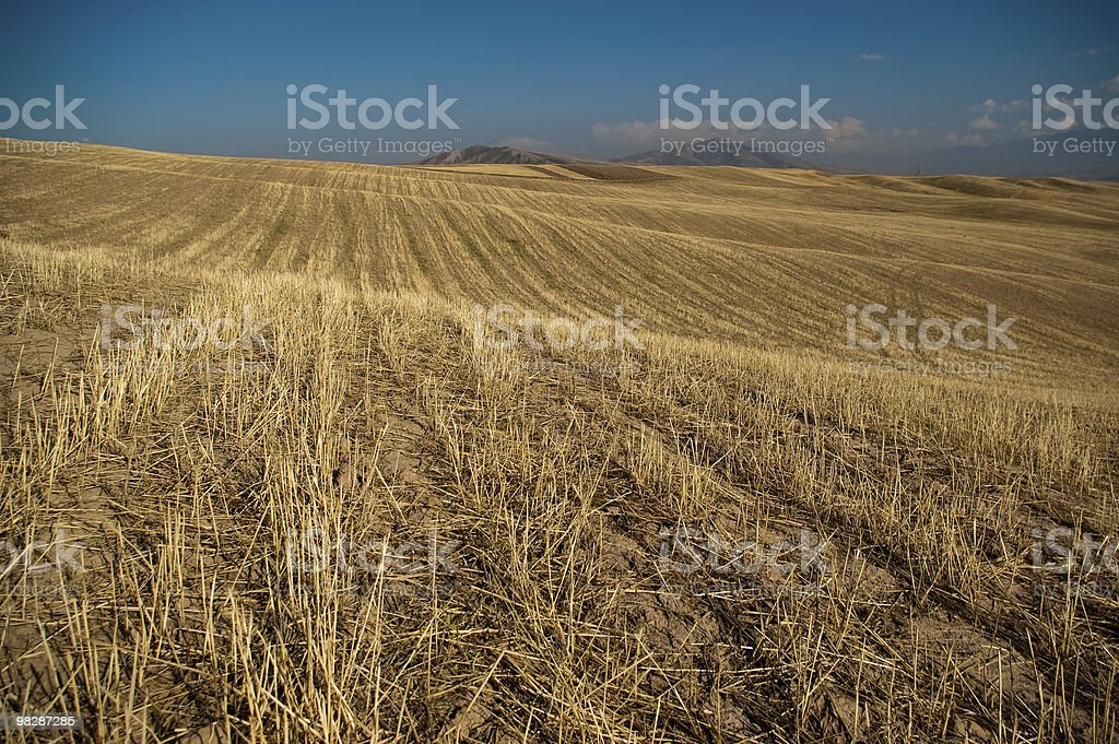 Barley meadows in the hay time royalty-free stock photo