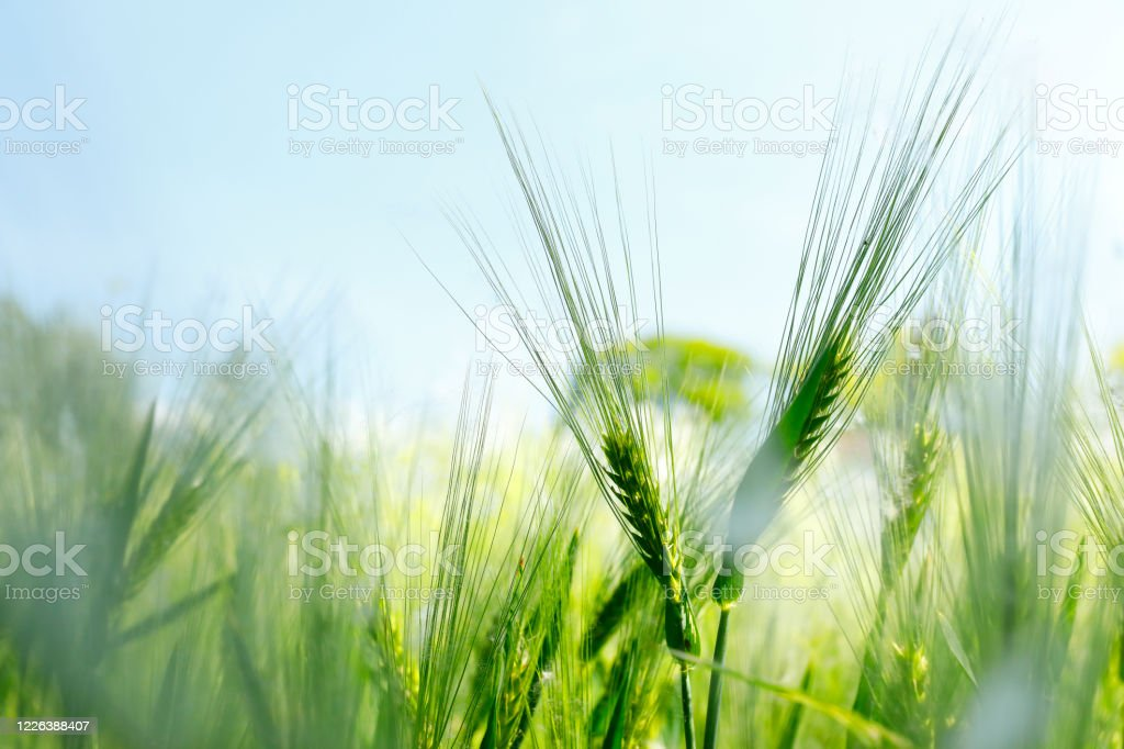 Barley on a meadow Young – still green – cereal with pollen from a tree Sustainable Resources Stock Photo
