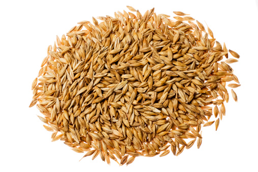 Barley isolated on white background. High key image with copy space
