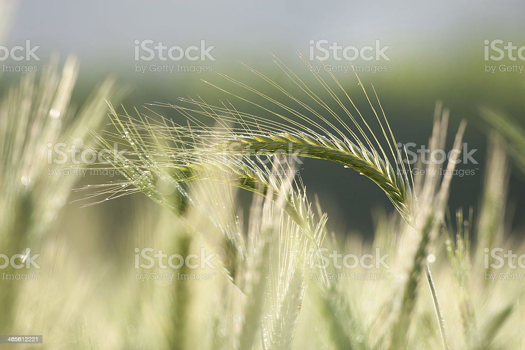 Barley Unripe field of barley Agricultural Field Stock Photo