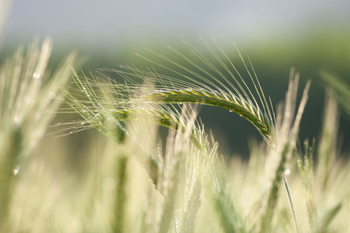 Barley Stock Photo - Download Image Now