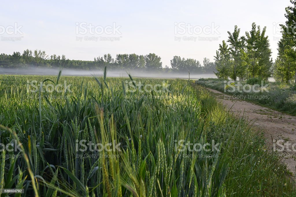 barley planting watered in Spain stock photo
