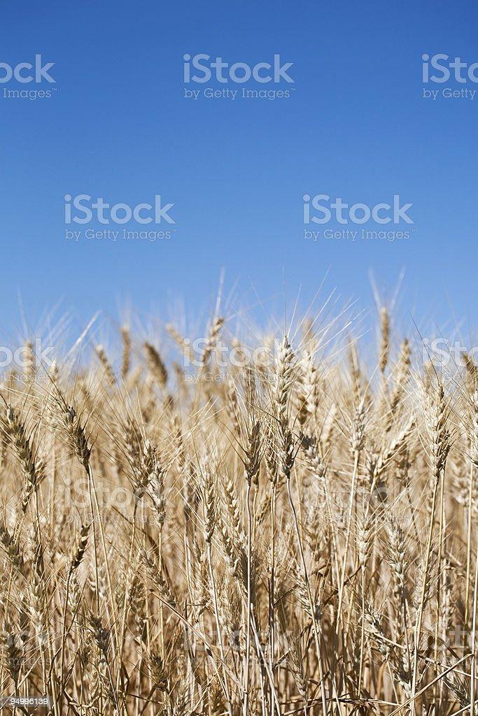 Barley Ready for Harvest royalty-free stock photo