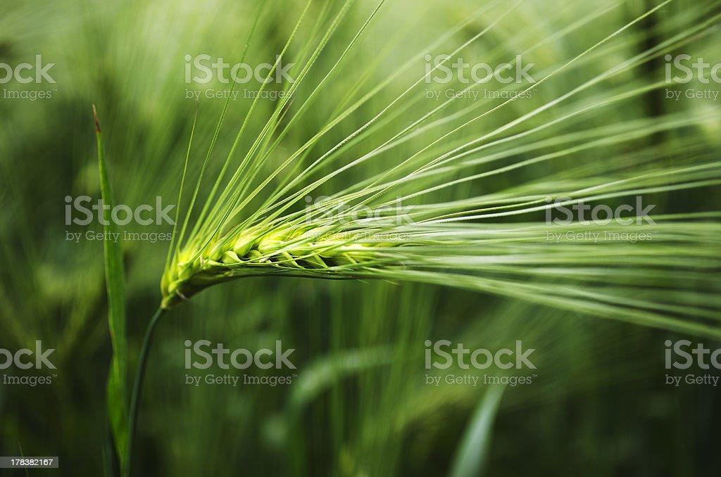 Barley seed head royalty-free stock photo