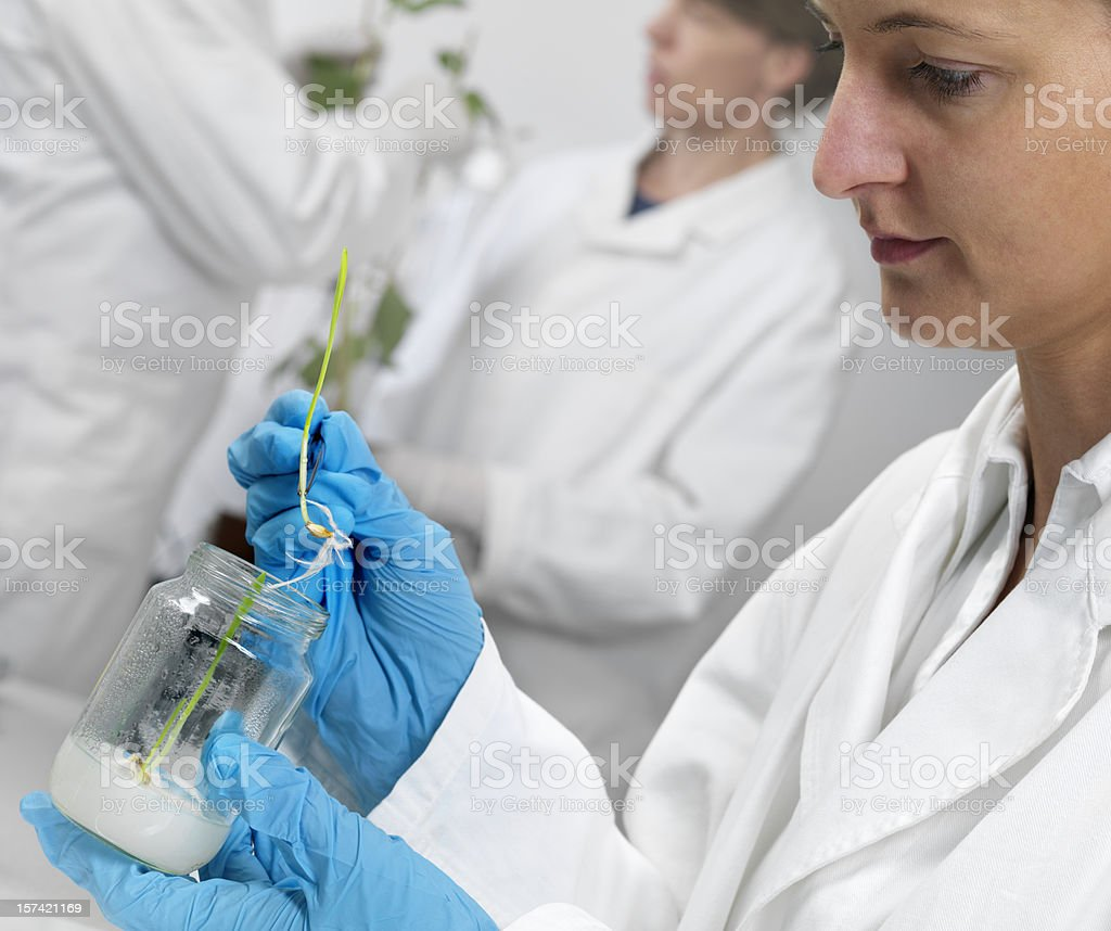Barley sprouts on agar jelly royalty-free stock photo