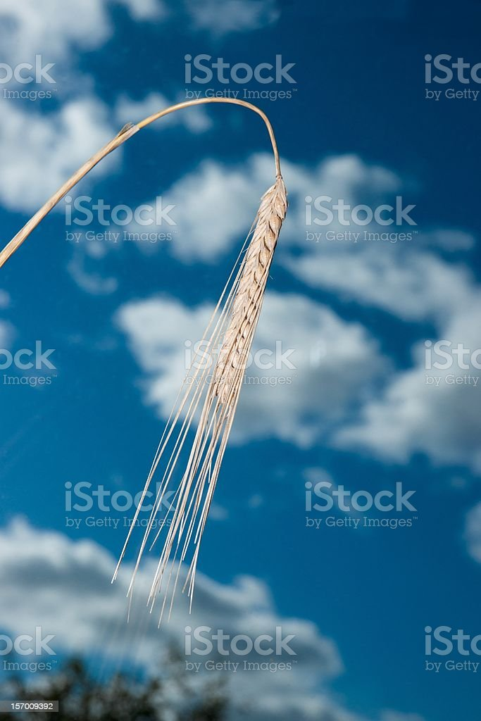 Barley stalk seed head against blue sky and sparse cloud royalty-free stock photo