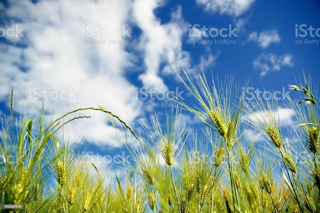 Barleys and sky royalty-free stock photo
