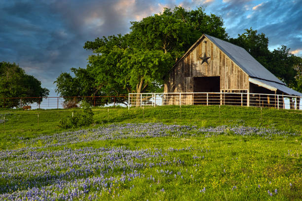 Barn and Bluebonnets stock photo