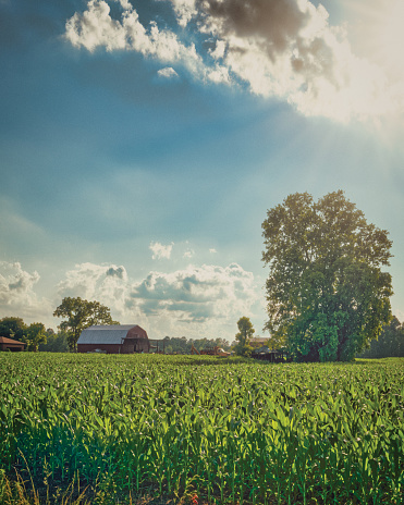 A corn field with a red barn in the distance, and some trees. The sky features a bright sun and beautiful clouds.