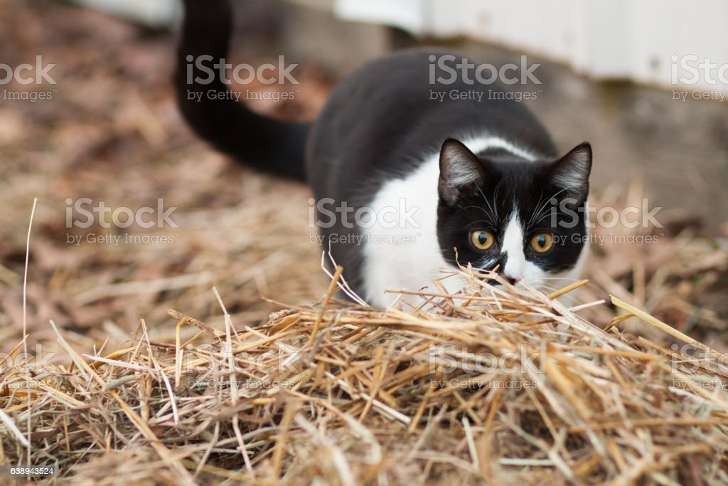 Barn cat hunting stock photo