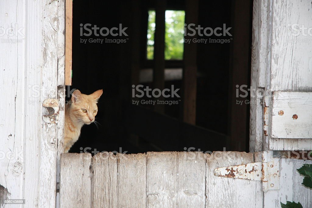 Barn Cat on an Iowa Farm stock photo