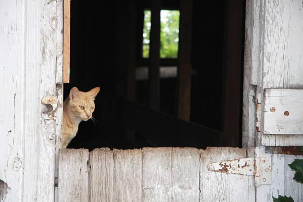 Barn Cat on an Iowa Farm stock photo