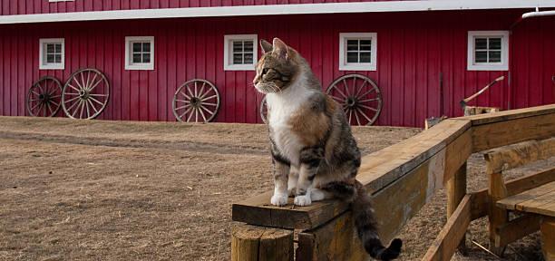 Barn cat picture id173897283?b=1&k=6&m=173897283&s=612x612&w=0&h=vh8m3h23ifjsiq0ueact49rk4hvkbjitlm4fgalsoti=