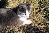 istock Barn Cat Resting on a Hay Pile on a Sunny Day 1151097866