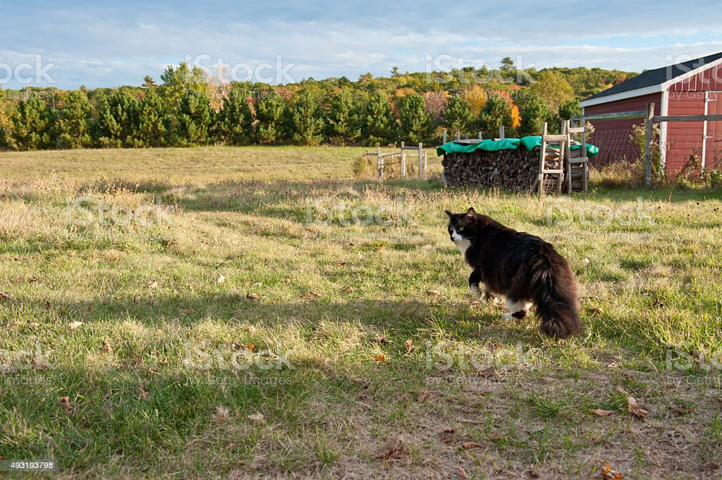 Barn cat walks in a field stock photo