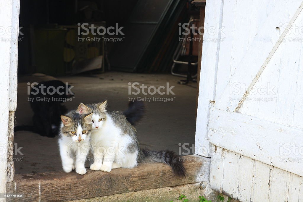 Barn Cats and Kittens in Iowa stock photo